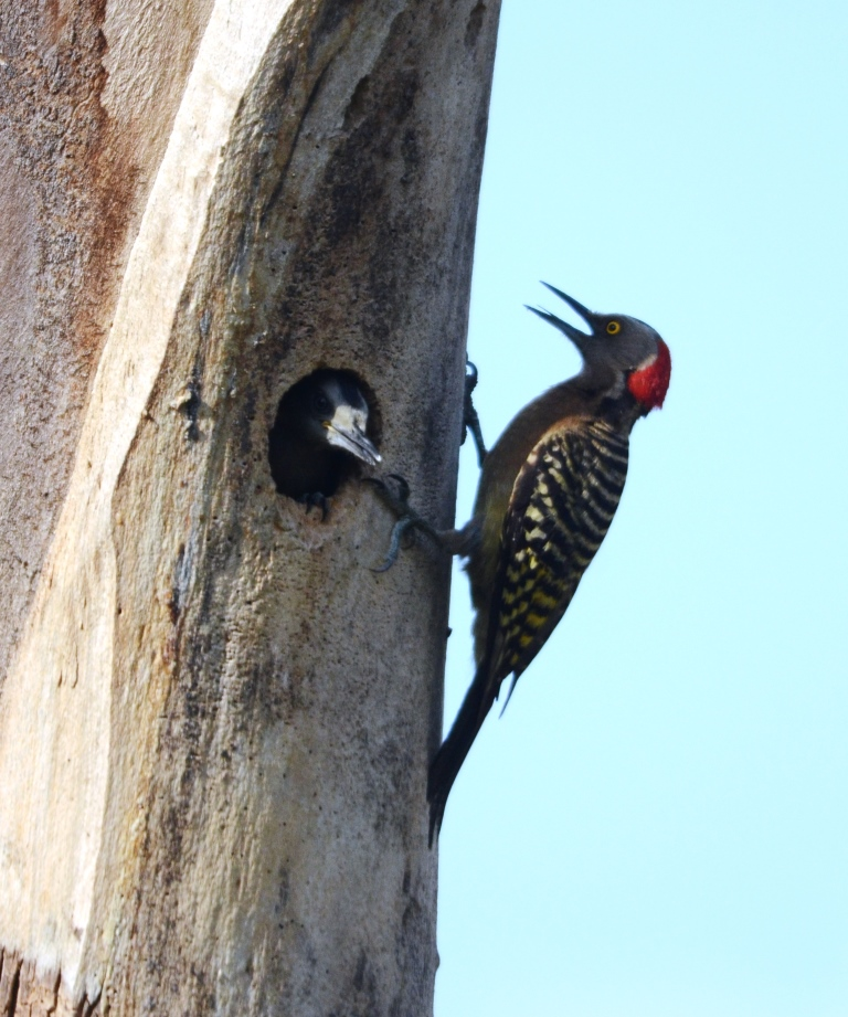 Hispaniolan Woodpecker