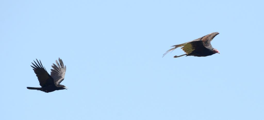 Turkey Vulture chased by a Crow