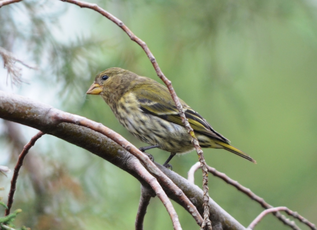 Antillean Siskin, female