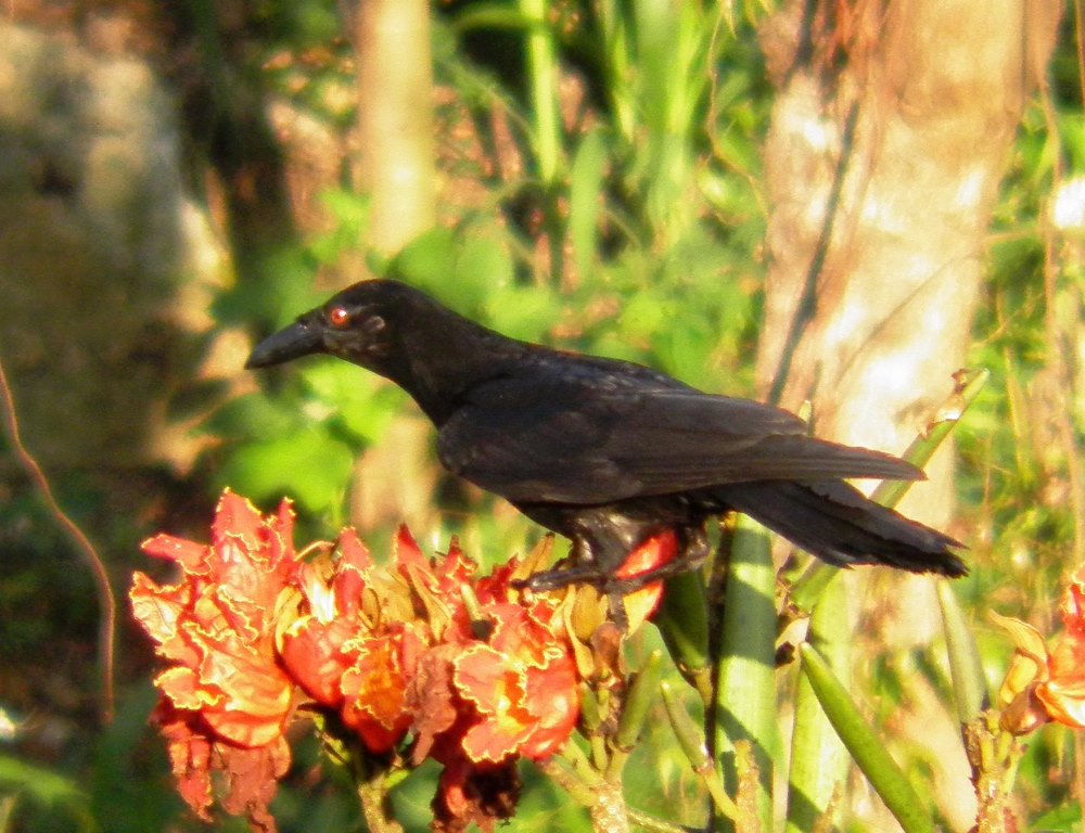White necked Crow