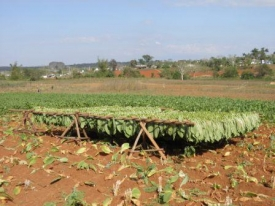 Tobacco production in Vinalles