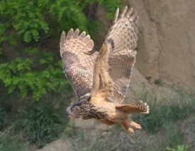 Bubo bubo, Uhu in flight